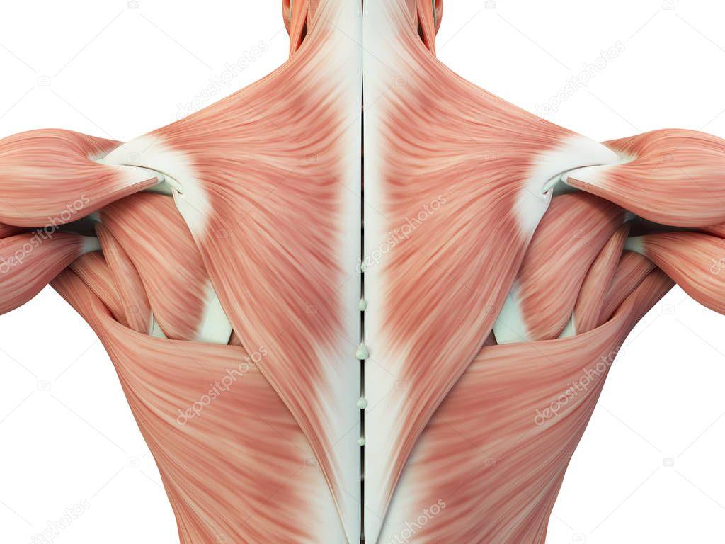 músculos de la espalda torso masculino — Fotos de Stock ...
