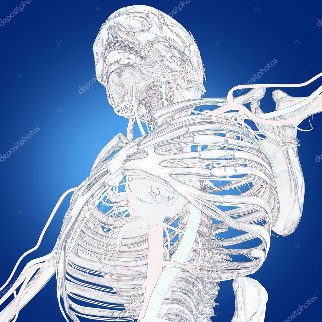 modelo de anatomía humana de esqueleto — Fotos de Stock ...