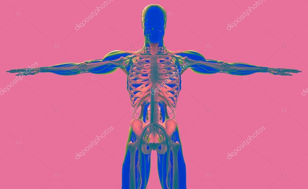 menschliche Anatomie Modell — Stockfoto © AnatomyInsider #129002114