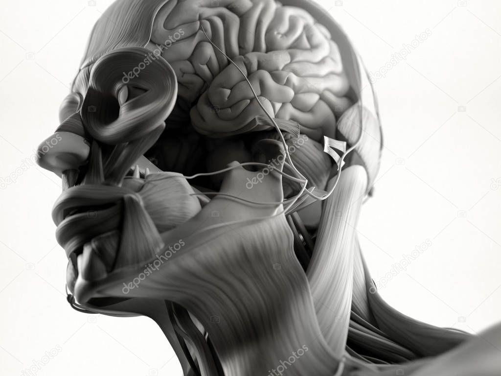 Menschlichen Kopf Anatomie Modell — Stockfoto © AnatomyInsider ...