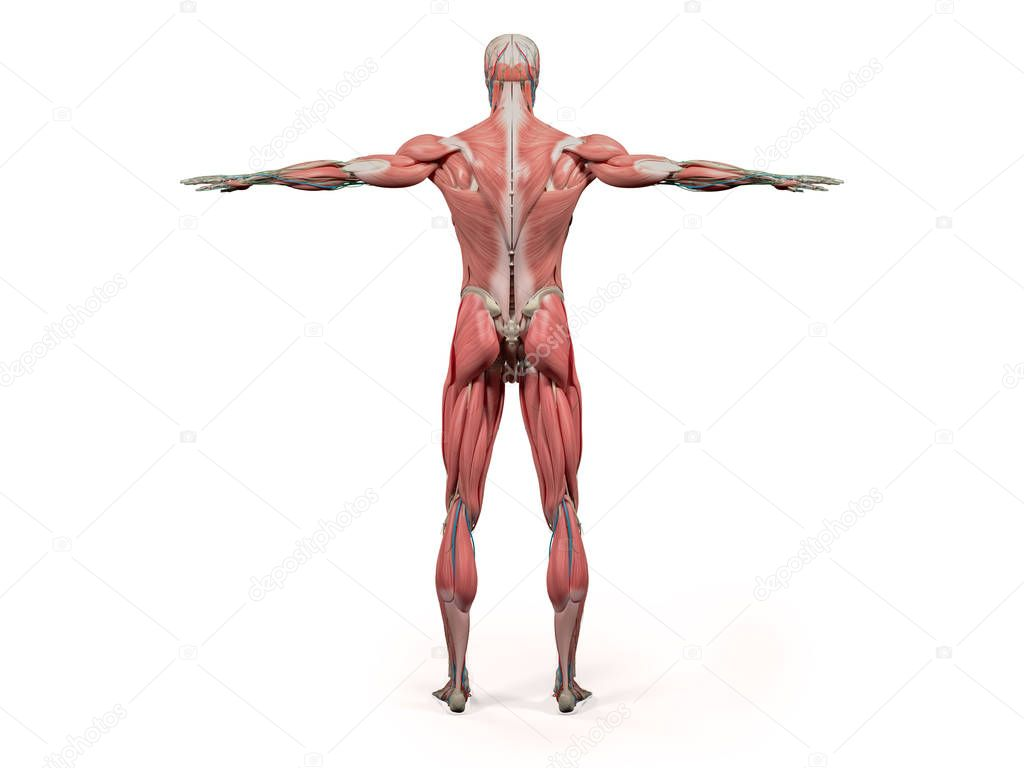 Human Anatomy Model Stock Photo Anatomyinsider 129002788