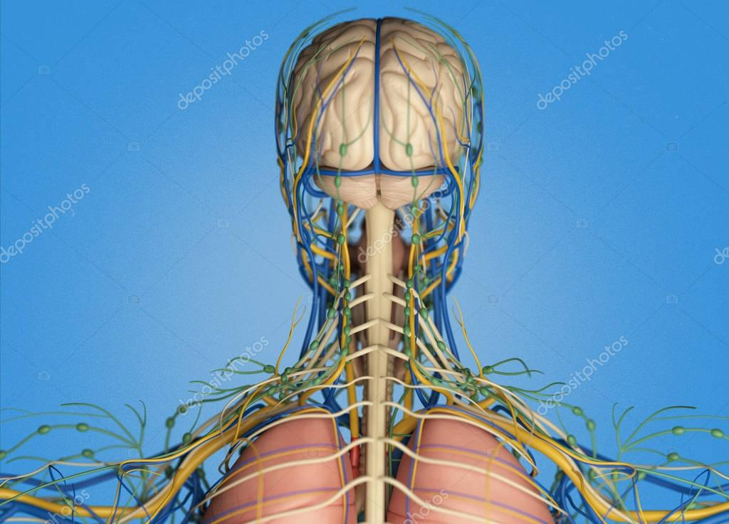 Human head anatomy back view stock photo anatomyinsider 129002814 human head anatomy back view stock photo ccuart Image collections
