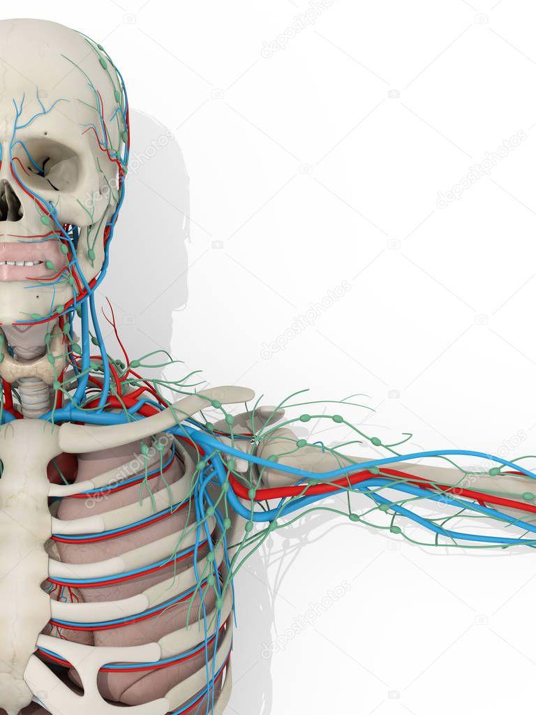 Menschliche Anatomie Modell fragment — Stockfoto © AnatomyInsider ...