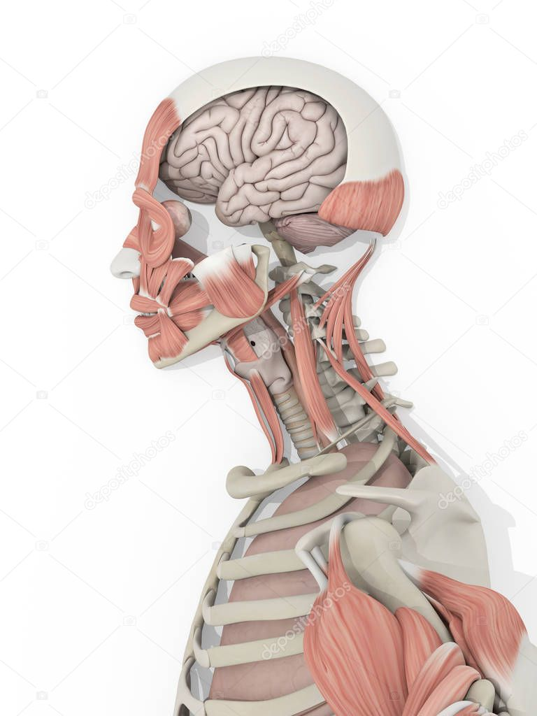 männlichen Kopf Anatomie Modell — Stockfoto © AnatomyInsider #129003370