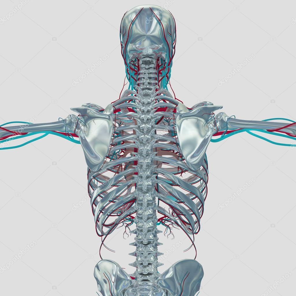 Human Skeleton Anatomy Model Stock Photo Anatomyinsider 129003700