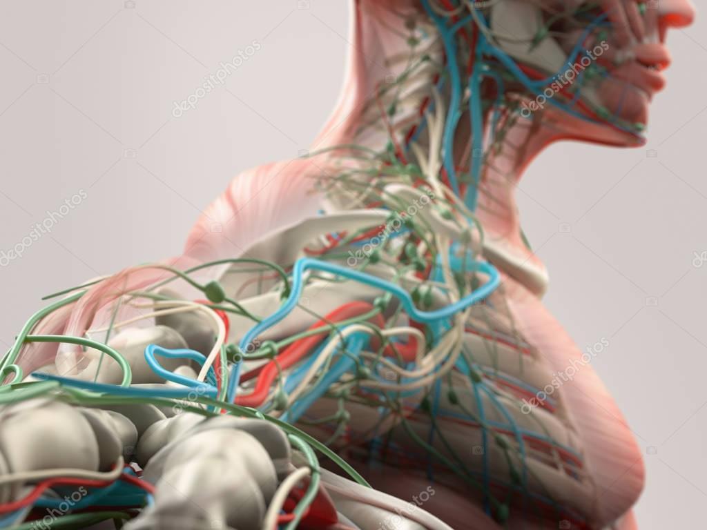 Human arm anatomy model — Stock Photo © AnatomyInsider #129003886