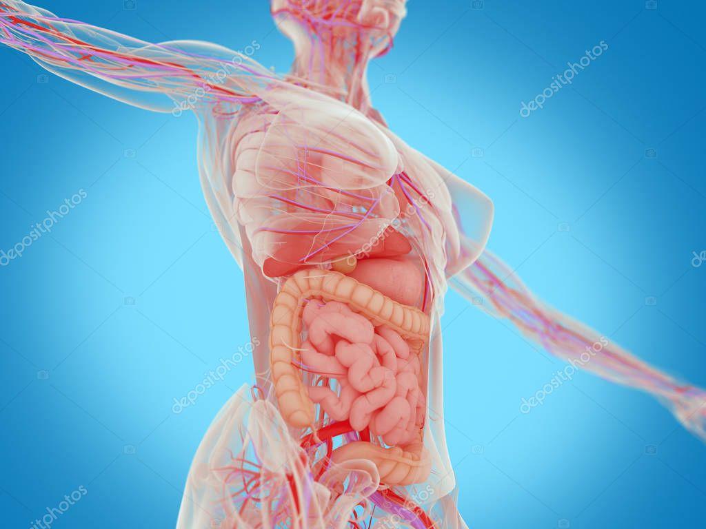 Anatomie des weiblichen Körpers — Stockfoto © AnatomyInsider #129004310