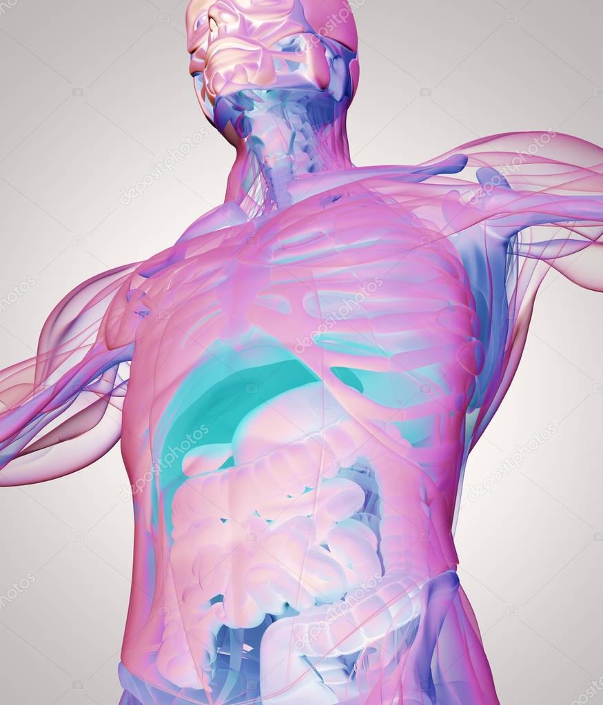 Berühmt Interaktives Menschliches Anatomie Modell Bilder - Anatomie ...