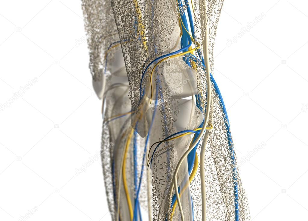 Human Knee Anatomy Details Stock Photo Anatomyinsider 129004818