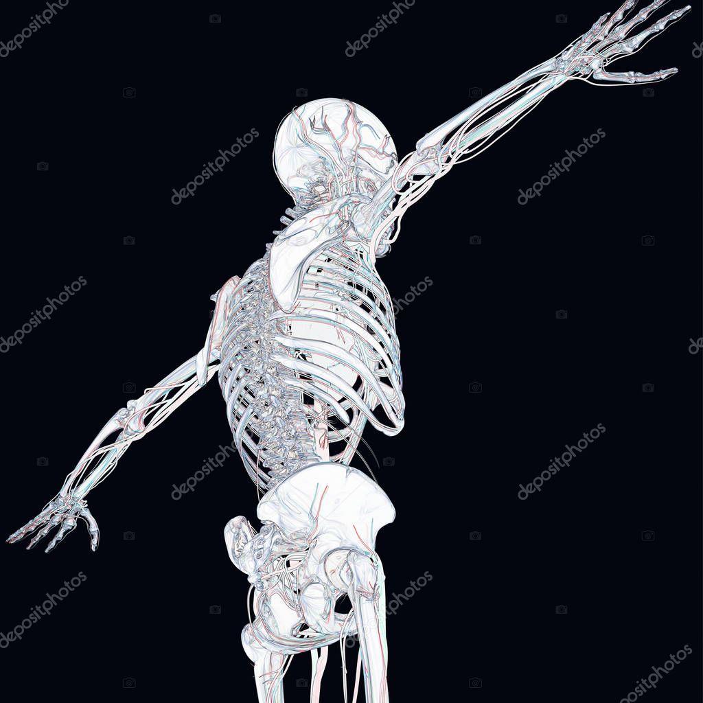 menschliches Skelett Anatomie Modell — Stockfoto © AnatomyInsider ...