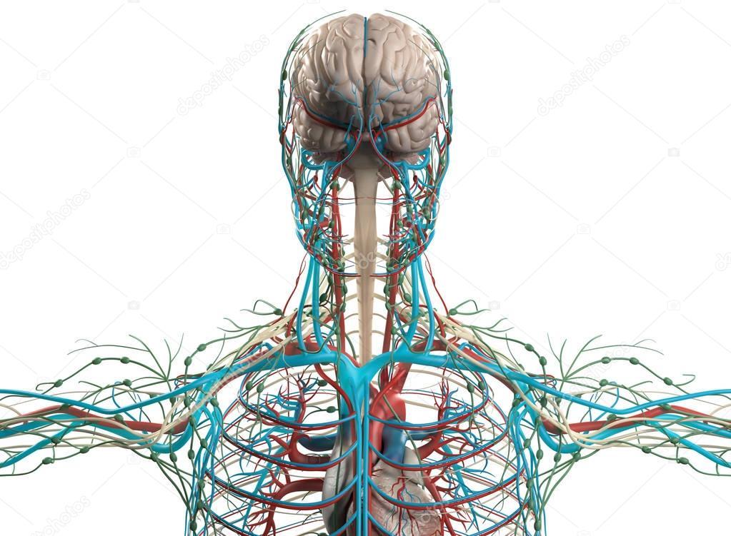 Brain and vascular system model — Stock Photo © AnatomyInsider ...