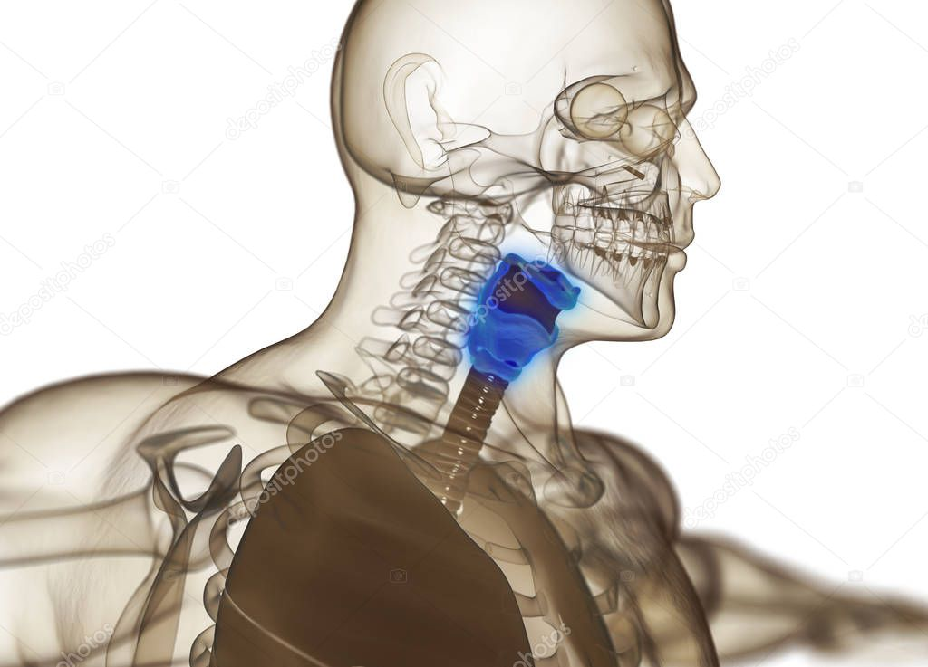 Human Thyroid Gland Anatomy Model Stock Photo C Anatomyinsider