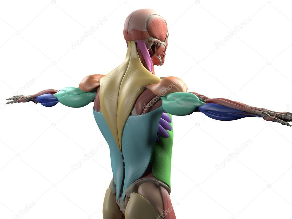 músculos de la espalda torso masculino — Foto de stock ...