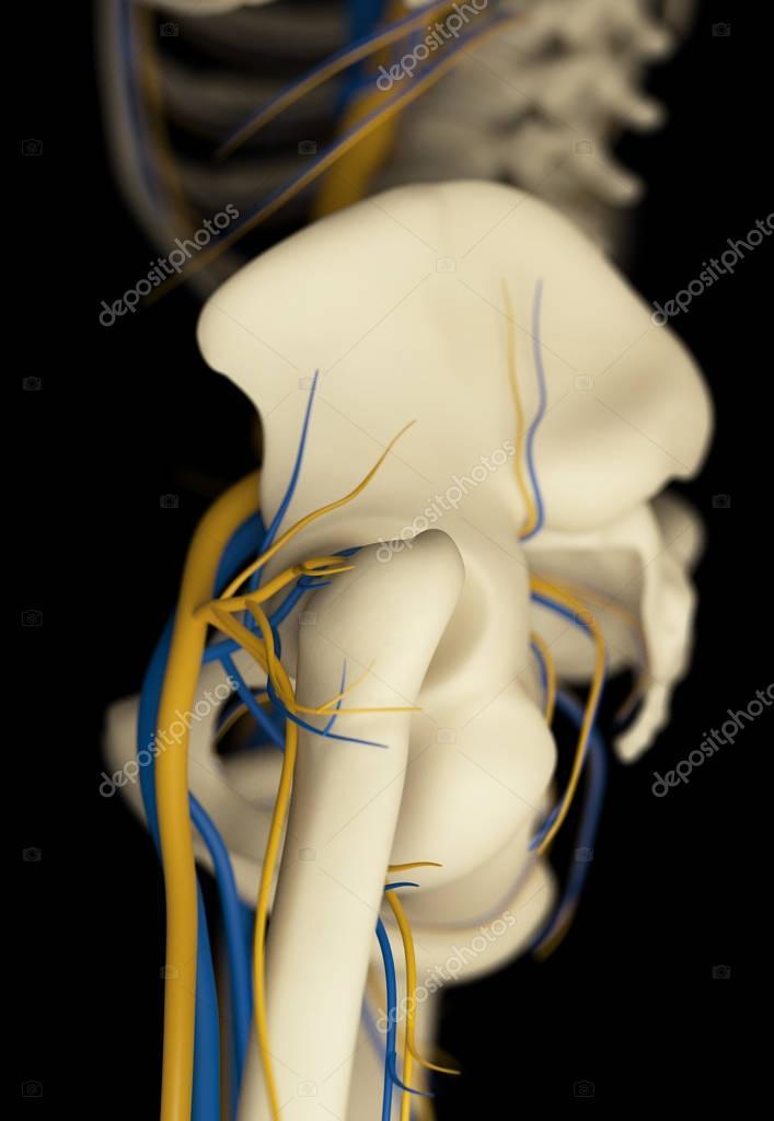 Menschlichen Becken Anatomie Modell — Stockfoto © AnatomyInsider ...