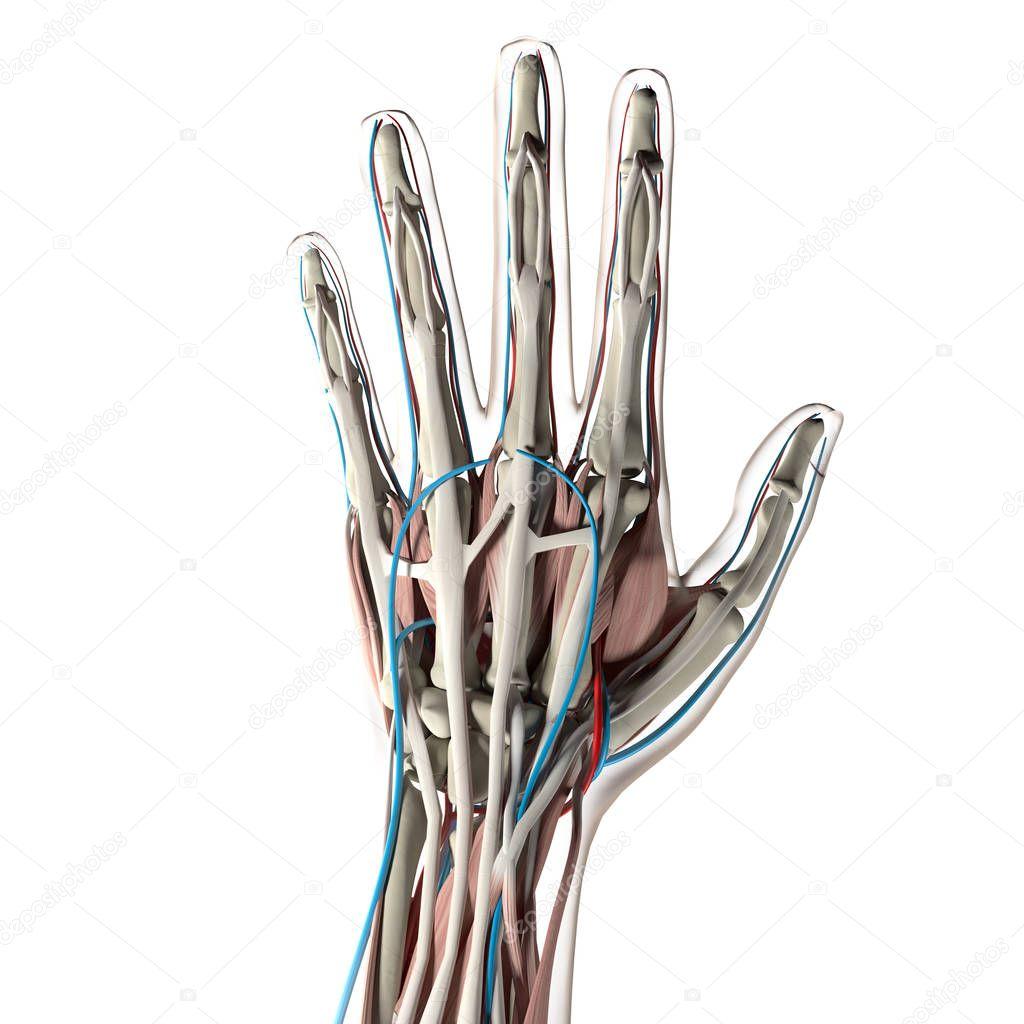 menschliche Anatomie Handmodell — Stockfoto © AnatomyInsider #129005504