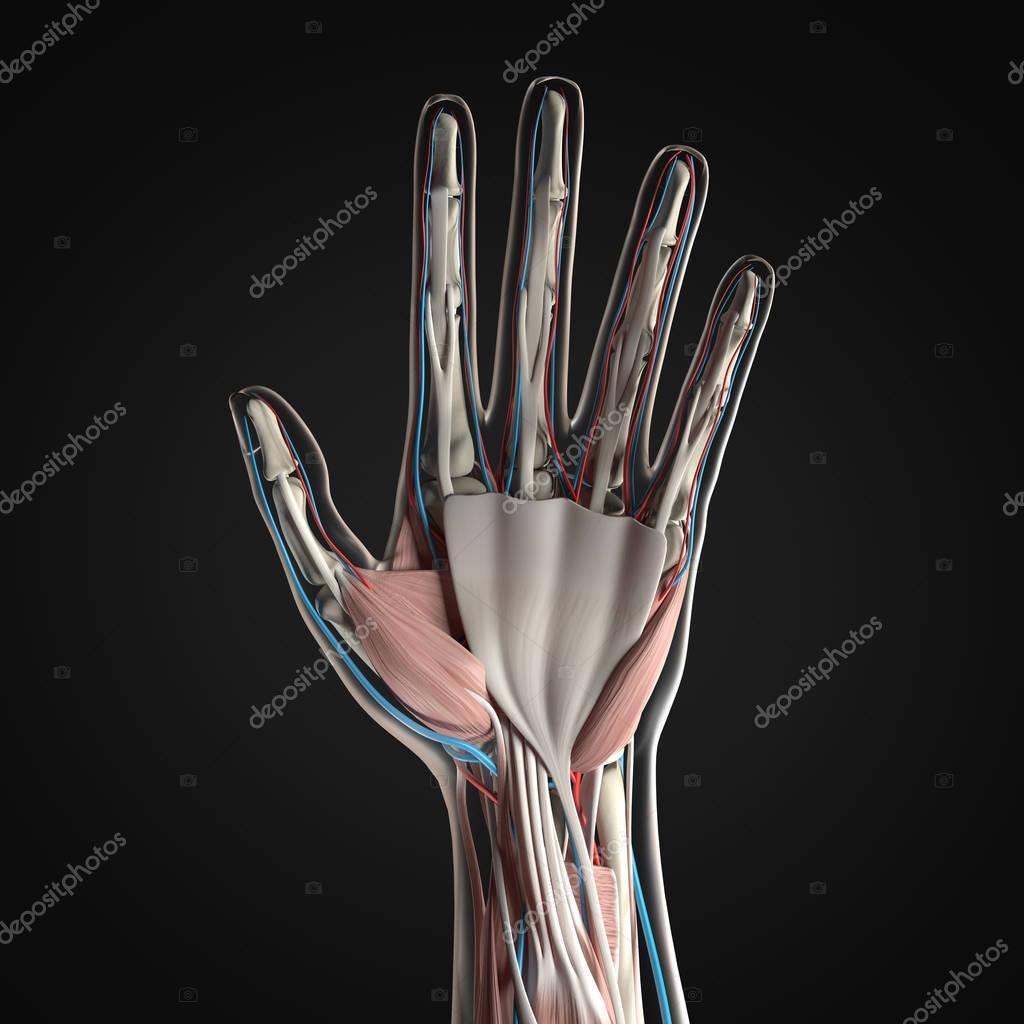 Human Hand Anatomy Model Stock Photo Anatomyinsider 129005578