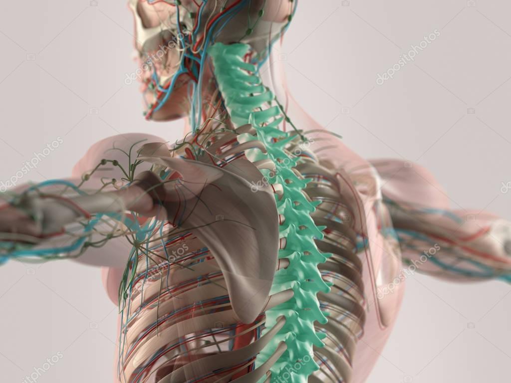 Modelo columna vertebral humana — Fotos de Stock © AnatomyInsider ...