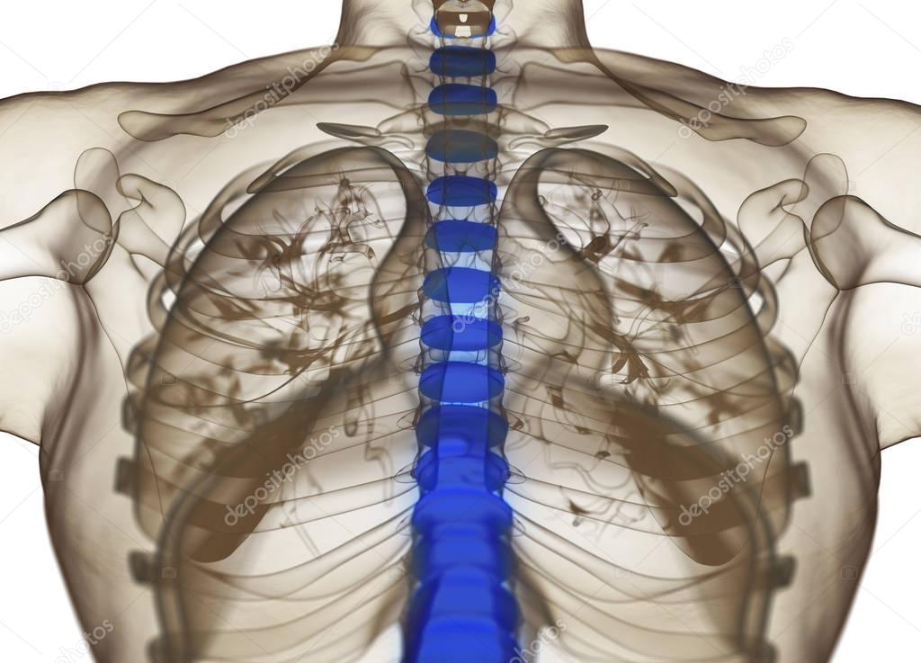 Modelo de anatomía humana columna discos — Foto de stock ...