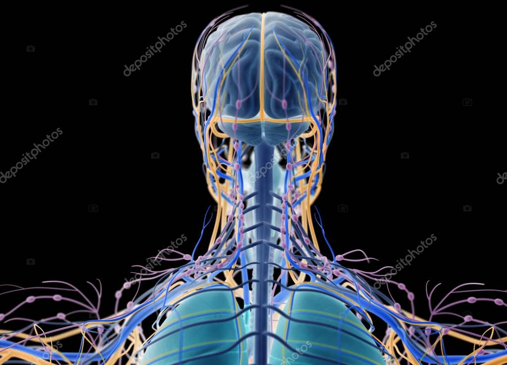 Anatomía humana cabeza atrás ver — Foto de stock © AnatomyInsider ...
