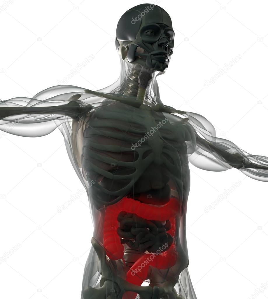 Modelo de anatomía de colon humano — Fotos de Stock © AnatomyInsider ...