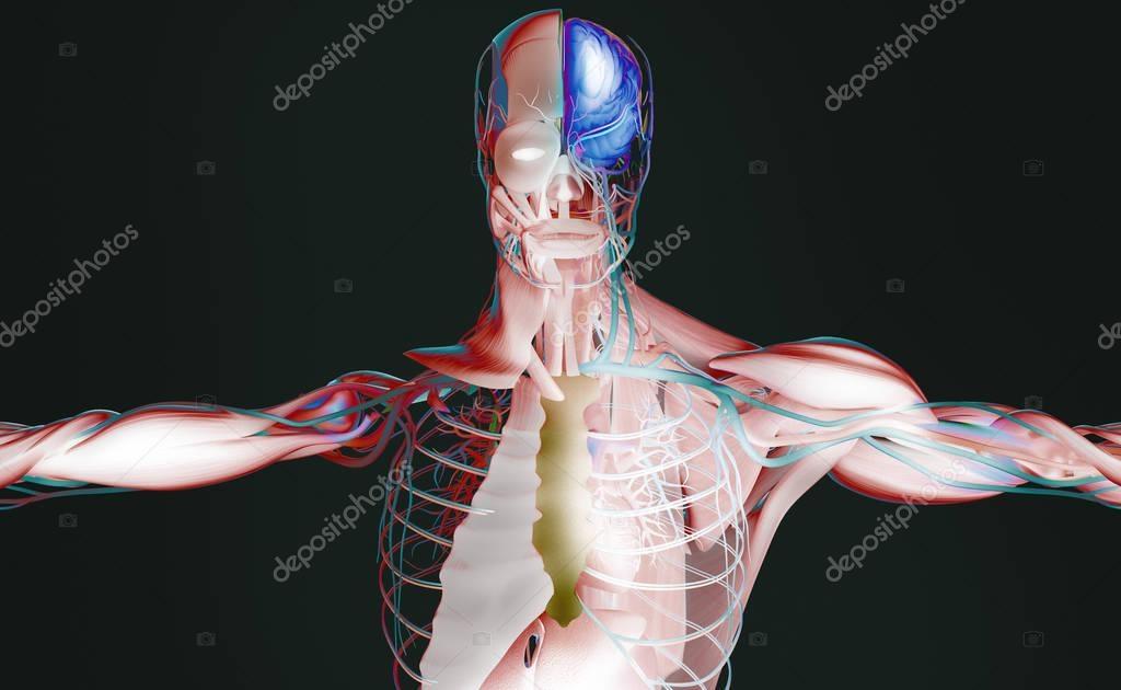 male anatomy model — Stock Photo © AnatomyInsider #129006592