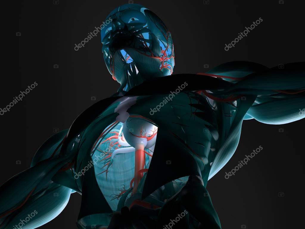 Menschlichen Torso Anatomie Modell — Stockfoto © AnatomyInsider ...