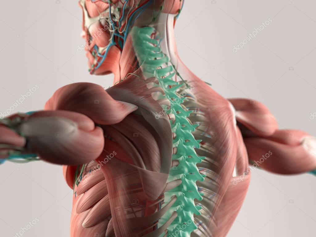 Modelo columna vertebral humana — Foto de stock © AnatomyInsider ...