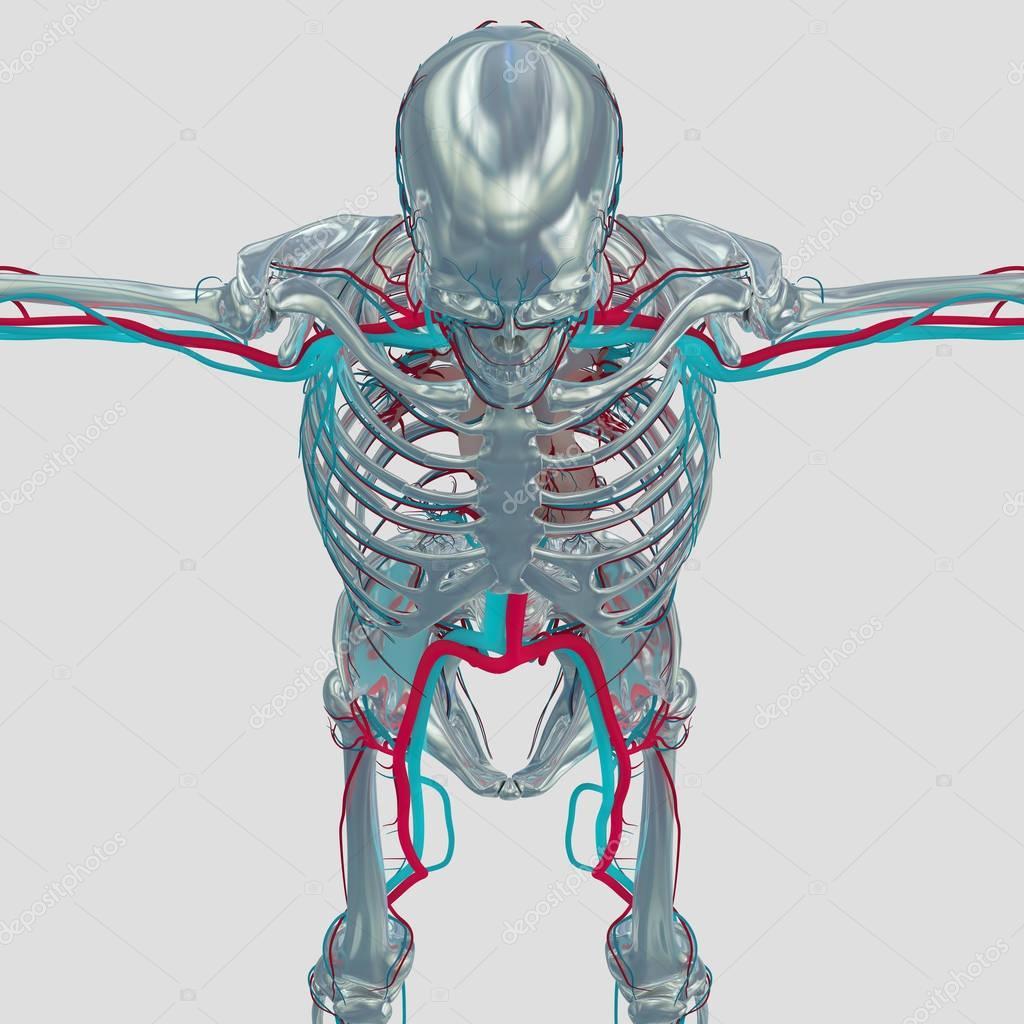 Human Skeleton Anatomy Model Stock Photo Anatomyinsider 129007058