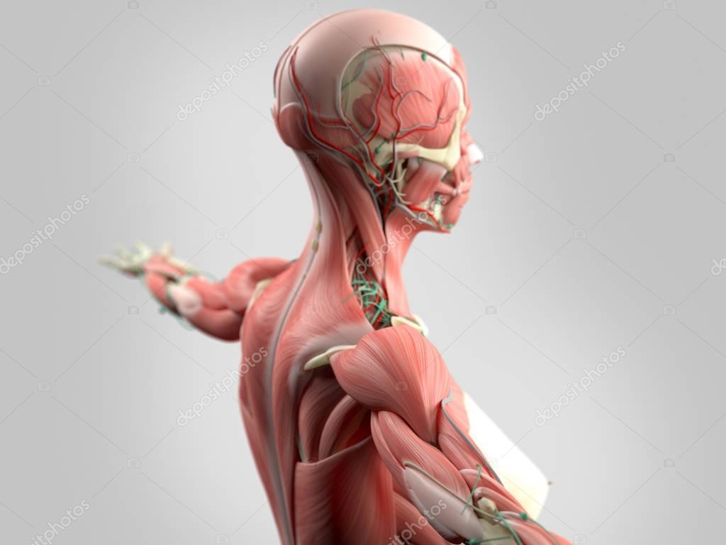 Anatomie des weiblichen Körpers — Stockfoto © AnatomyInsider #129007250