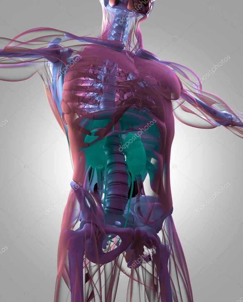modelo de anatomía de los riñones humano — Foto de stock ...