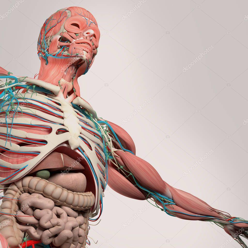 Anatomía del pecho humano — Fotos de Stock © AnatomyInsider #129007478