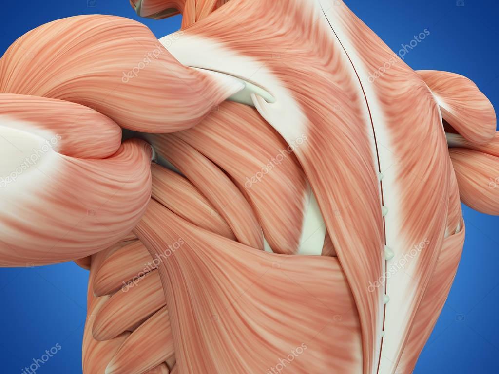 Human Muscles Anatomy Model Stock Photo Anatomyinsider 129007572