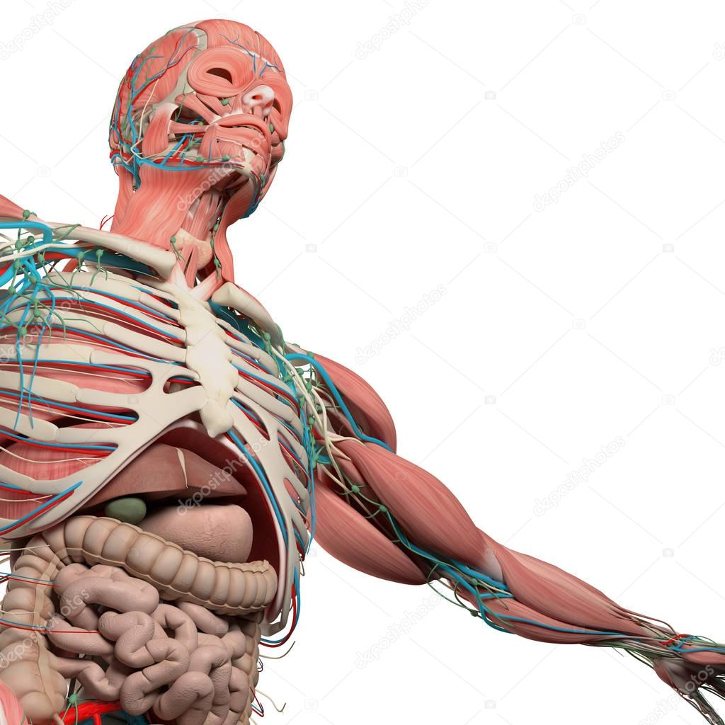 Human Chest Anatomy Stock Photo Anatomyinsider 129007696