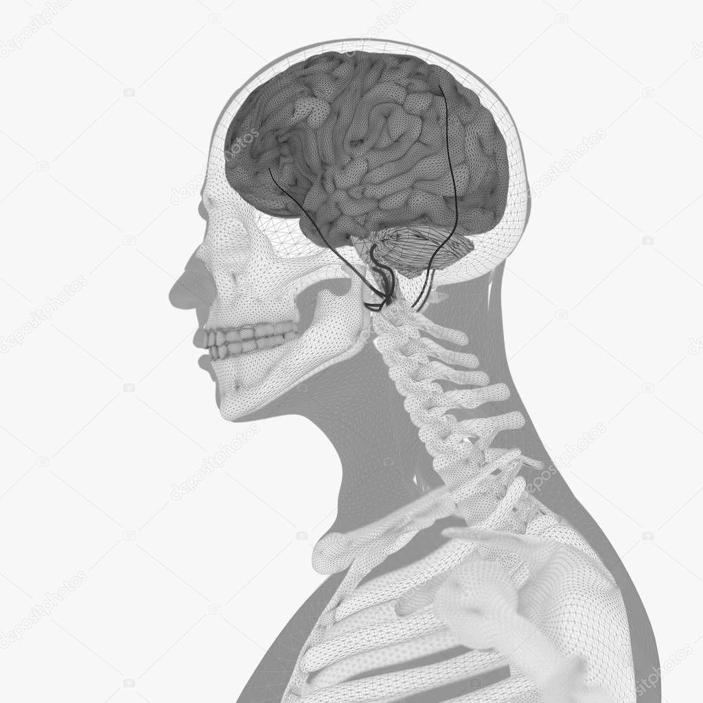 Menschliche Anatomie, Gehirn — Stockfoto © AnatomyInsider #129008196