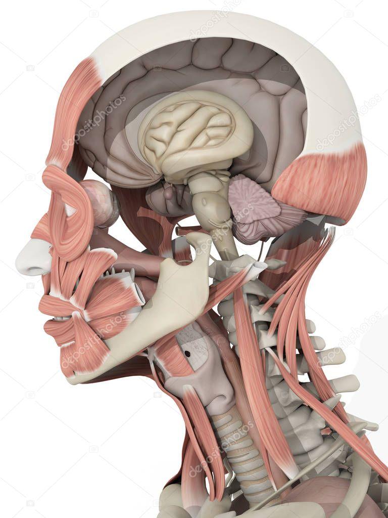 männlichen Kopf Anatomie Modell — Stockfoto © AnatomyInsider #129008712