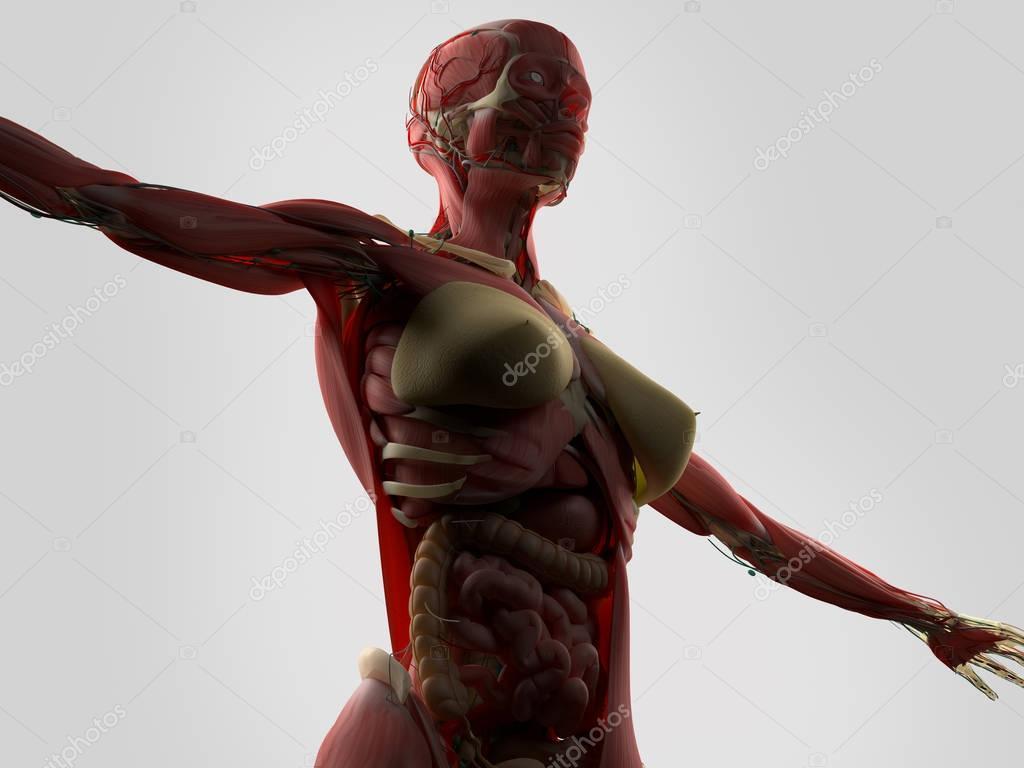 Anatomie des weiblichen Körpers — Stockfoto © AnatomyInsider #129008944