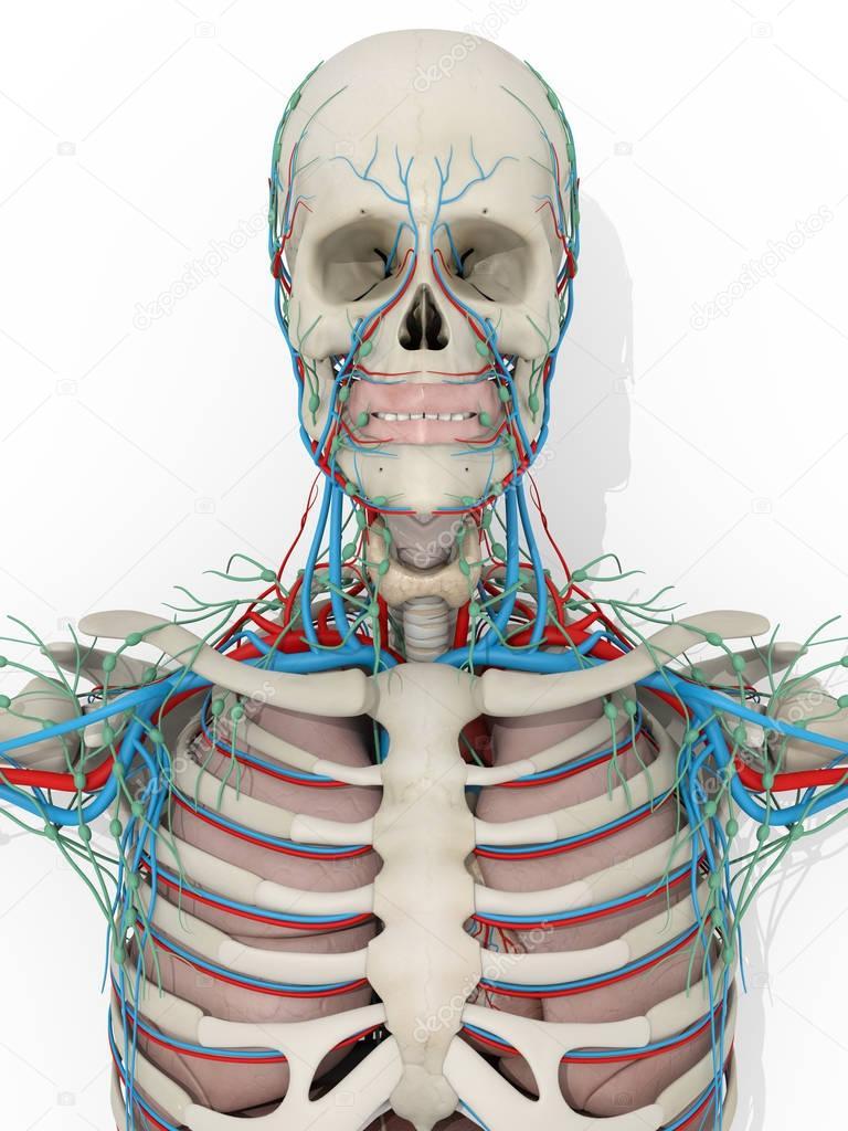 Human Skull Anatomy Model Stock Photo Anatomyinsider 129009122
