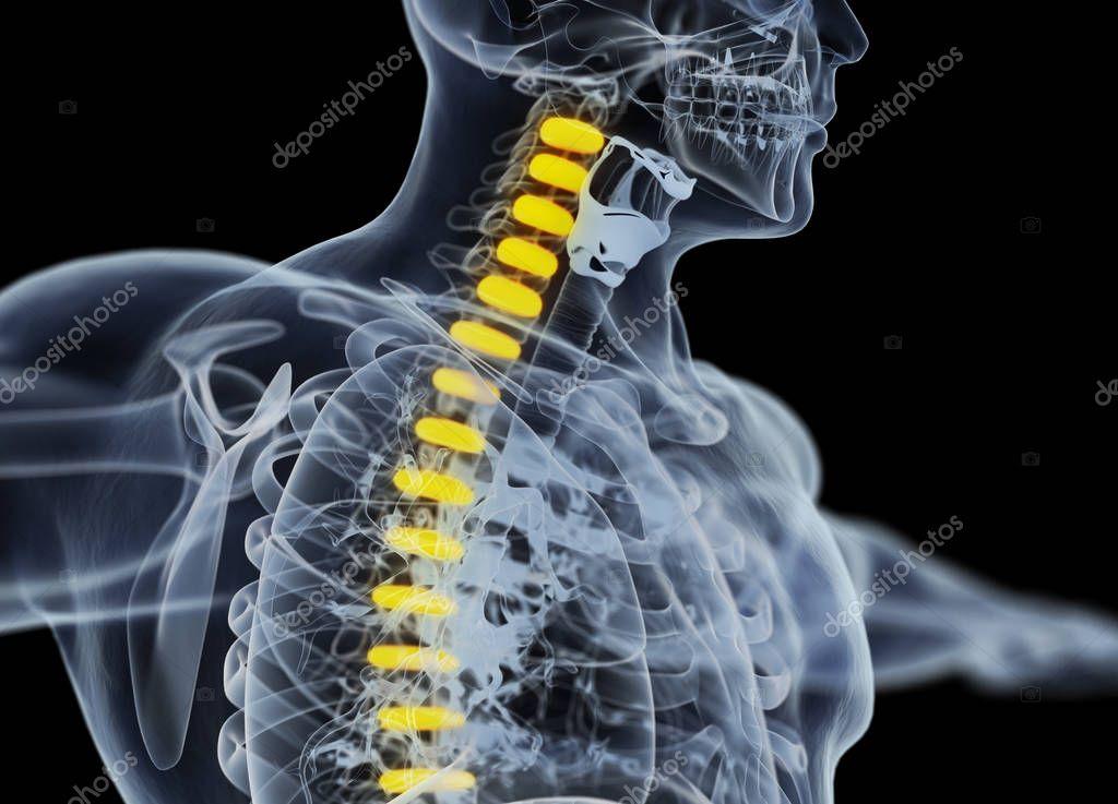 Human Spine Discs Anatomy Model Stock Photo Anatomyinsider
