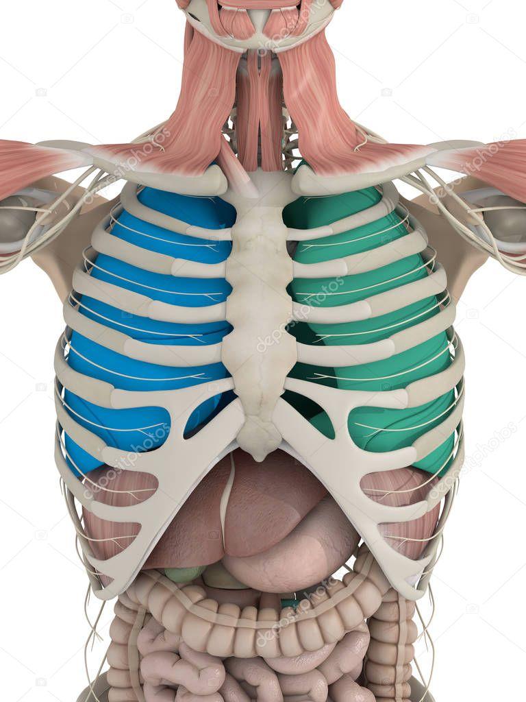Detalle de la anatomía de torso — Fotos de Stock © AnatomyInsider ...
