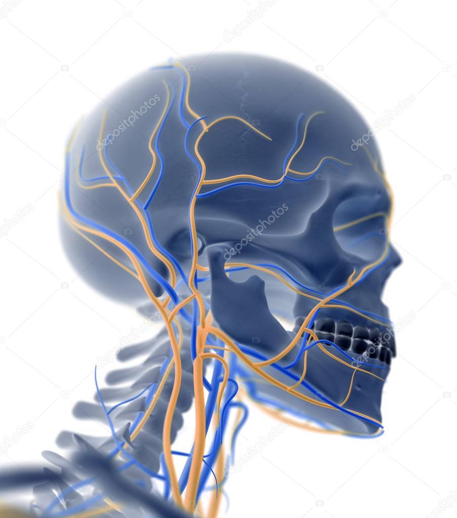Human Skull anatomy model — Stock Photo © AnatomyInsider #129009262