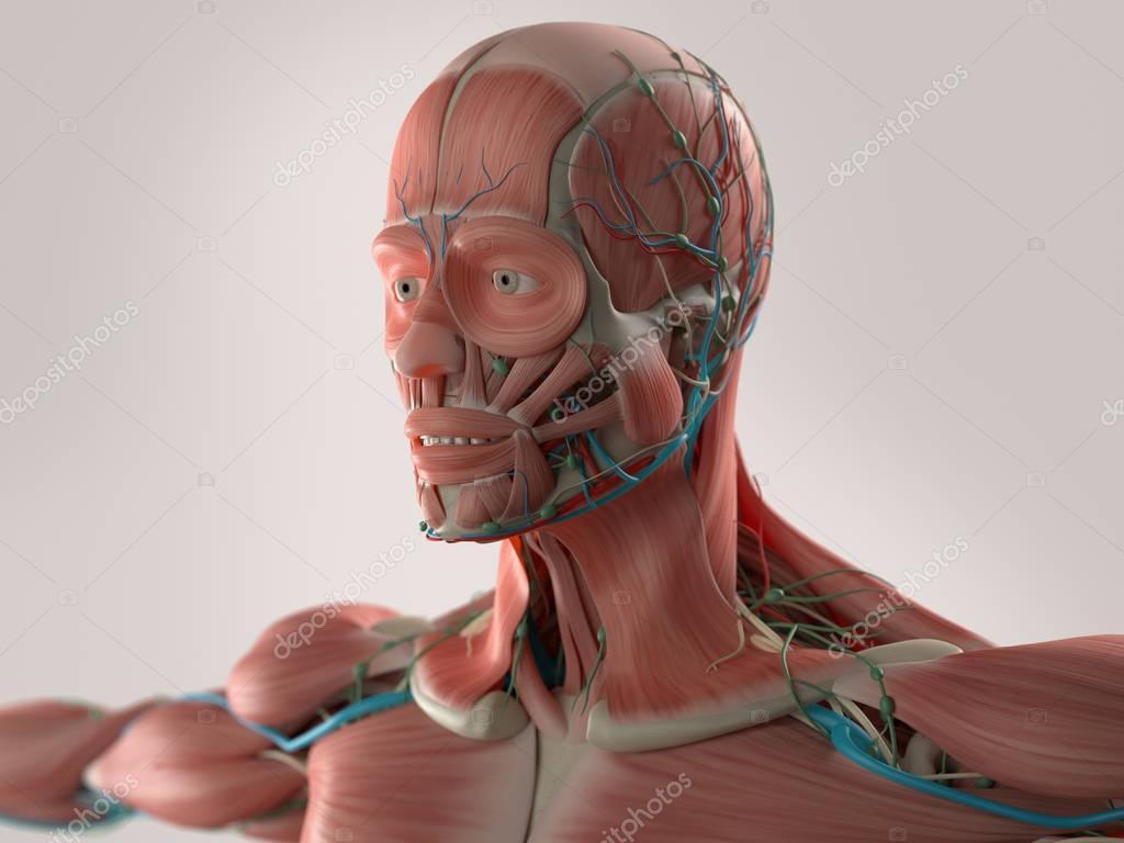 male head anatomy model — Stock Photo © AnatomyInsider #129009442
