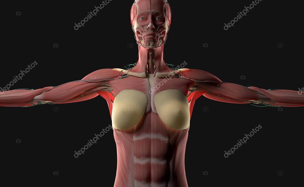 Anatomía del cuerpo de la mujer — Fotos de Stock © AnatomyInsider ...