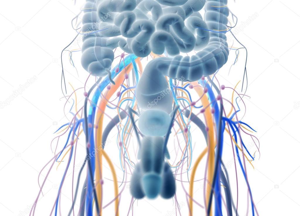 Sistema urinario y reproductor masculino — Fotos de Stock ...