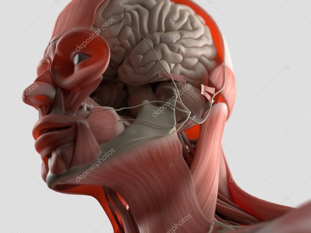 Human Head Anatomy Model Stock Photo Anatomyinsider 129009618