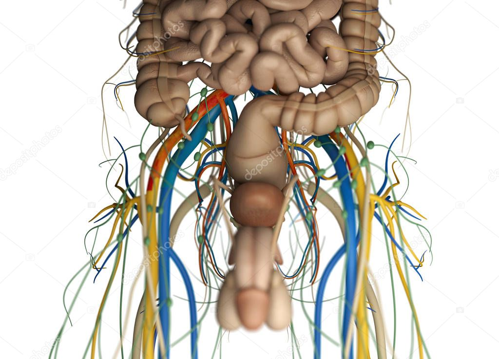 Male urinary and reproductive system — Stock Photo © AnatomyInsider ...