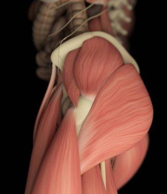 Human upper leg muscular system