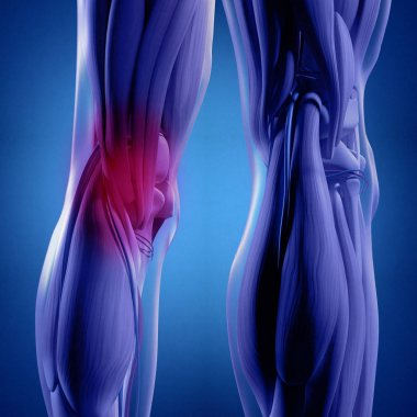 Human Back of legs anatomy