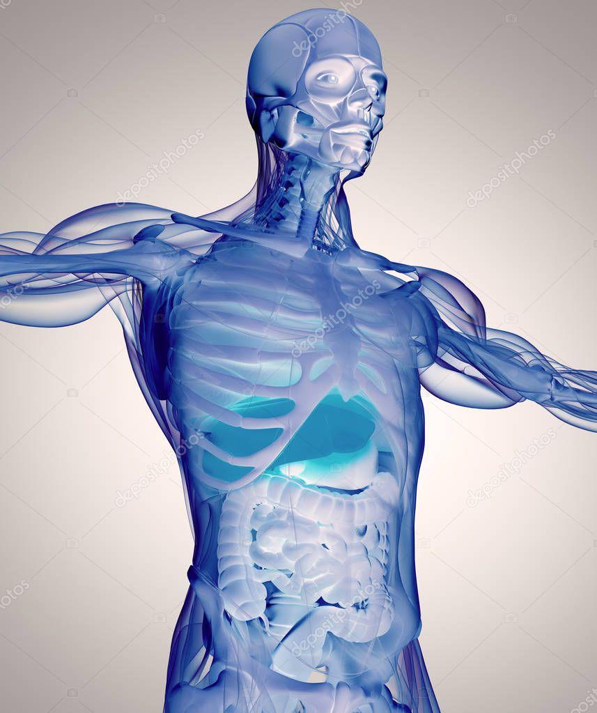 menschliche Anatomie Modell — Stockfoto © AnatomyInsider #129010114