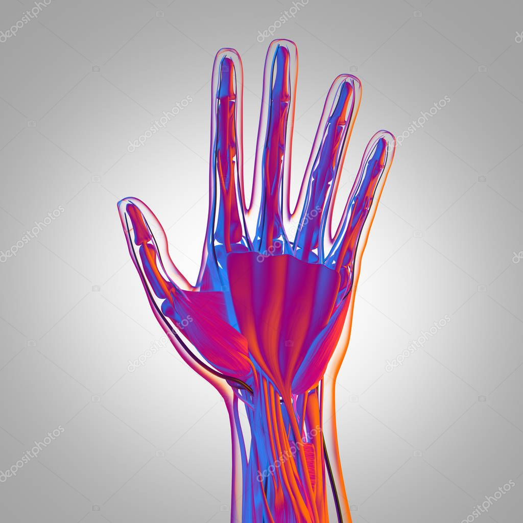 Human Hand Anatomy Model Stock Photo Anatomyinsider 129010496