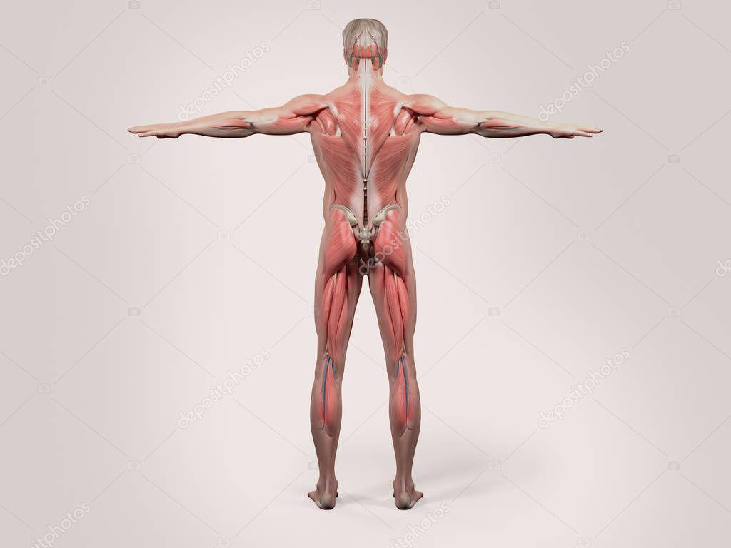 menschliche Anatomie Modell — Stockfoto © AnatomyInsider #129010646